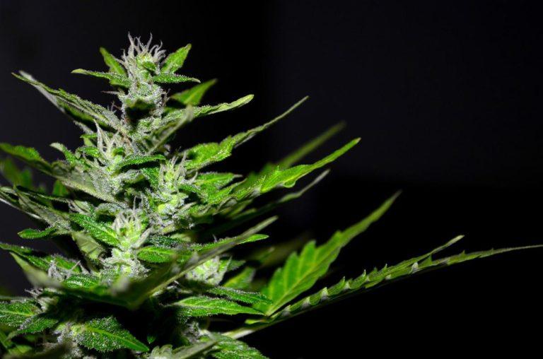 Czy do uprawy marihuany są potrzebne akcesoria?